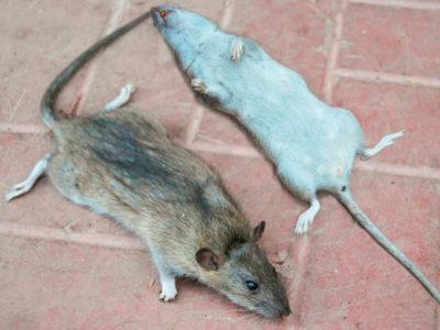 DESINTORRE: Importantes consejos para combatir a las ratas en tu hogar