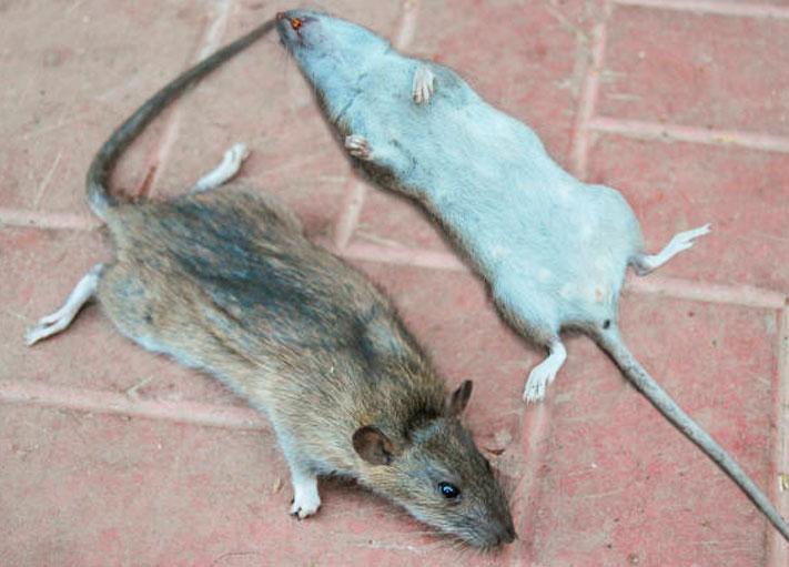 Importantes consejos para combatir a las ratas en tu hogar y en el jardín