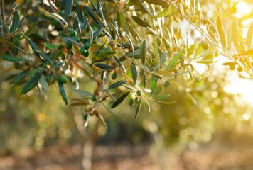 El olivo: un símbolo para tu jardín