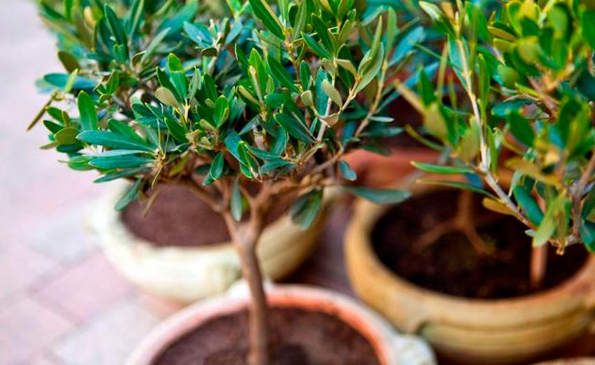 los cuidados del olivo
